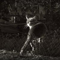 Кот,на заборе :: Михаил Цегалко