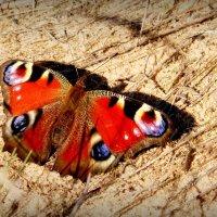 октябрьские бабочки (ещё не заснувшие) 1 :: Александр Прокудин