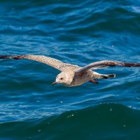 Молодая чайка :: Nikolay Svetin