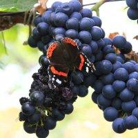 Вот кто ест виноград! :: Геннадий Валеев