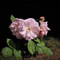 Розы расцветают :: Вячеслав Маслов