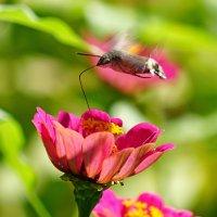 Бабочка с трубочкой :: Сергей Беляев