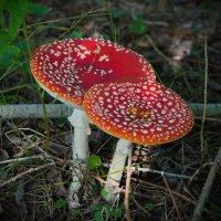 Лесные красавцы :: lady v.ekaterina