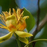 Цветок тюльпанного дерева :: Павел Руденко