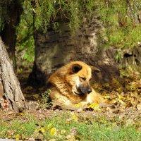 Собачьи грёзы под солнцем осени. :: barsuk lesnoi