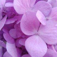 Фиолетовая гортензия :: Maryana Petrova