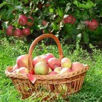 Яблоки Молдовы :: донченко александр