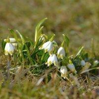 Весенние цветочки :: Olcen Len