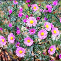 Цветы Октября. :: Александр Шимохин