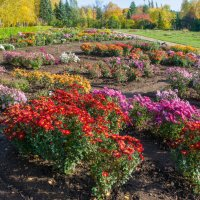 Астры - цветы осени :: Аркадий Беляков