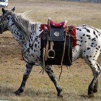 Бурятский конь под бурятским седлом :: Надежда Мельникова