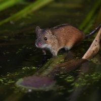 Полевая мышь :: Pepsovich
