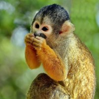 vit5 Squirrel monkey :: Vitaly Faiv