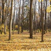 На ковре из желтых листьев.. :: Анатолий Грачев
