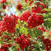 В саду горит костер рябины красной :: Alika Demi