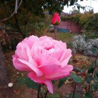 Последнее в этом году цветение роз... :: Aлександр **