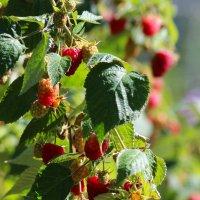 малина в сентябре :: Надежда Постникова
