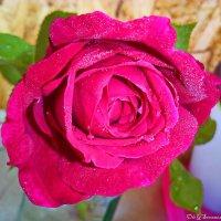 Роза чайно-гибридная Ред Берлин :: Олег Семенцов