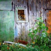 Старый сарай. :: Любовь