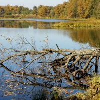 дуб в озере :: Александр Прокудин