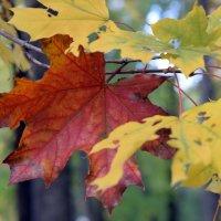 Листья осени разные, разные.... :: Татьяна Ларионова