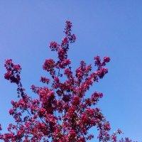 цветущие яблони :: Lyudmila