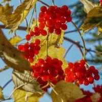 Осенние ягоды :: Владимир Орлов