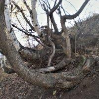 И на камнях растут деревья. :: Венера Чуйкова