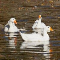Три веселых гуся :: Анна Васильева (Anna-82V)