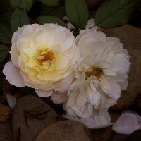 Осеннее цветение роз. фото-1. :: Nata