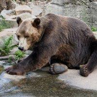 бурый медведь :: elena manas