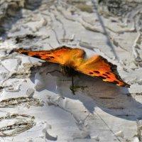 Весенняя бабочка :: Константин Анисимов