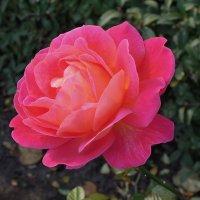 Октябрьская роза :: Тамара Бедай