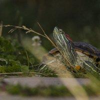 Trachemys scripta (Красноухая черепаха) :: Сергей Белко