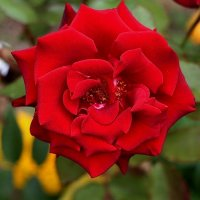 Роза в сентябре :: Надежд@ Шавенкова