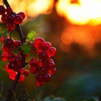 Рубиновые ягоды ) :: Андрей Пахомов