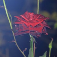 Дымная роза :: Юрий Гайворонский