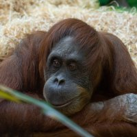 Орангутан :: Alex Bush