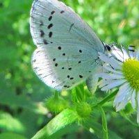 Голубянка аргиолус (лат. Celastrina argiolus) :: vodonos241