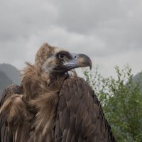 Гордый кавказский орел. Красная Поляна. :: Олег Фролов
