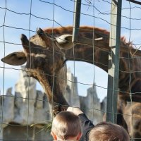 Подкормка жирафа :: Андрей Майоров