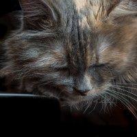 Полуденный сон кошки Сони :: Владимир Шамота