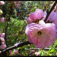 Цветы весенние (5) :: Юрий ГУКОВЪ