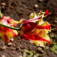 Тюльпаны - это дивные цветы... Кто раз увидел, чары их познает... :: Ольга Русанова (olg-rusanowa2010)