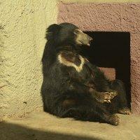Очковый медведь. :: Наташа *****