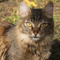 Осенняя кошка :: Наталия Григорьева