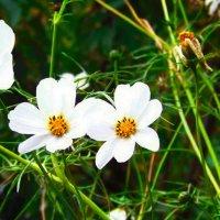 Еще немного про осенние цветы....Космея.... :: Любовь К.