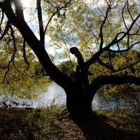 Дерево расправило ветки, словно птица взмахнула крыльями... :: Ольга Русанова (olg-rusanowa2010)