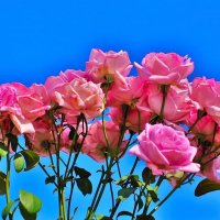 Розы Болгарии :: tat