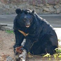 Белогрудый уссурийский медведь... :: Наташа *****